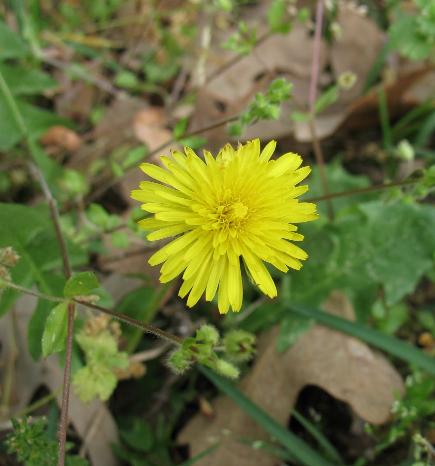 Edible Wild Plants – Dandelion Greens