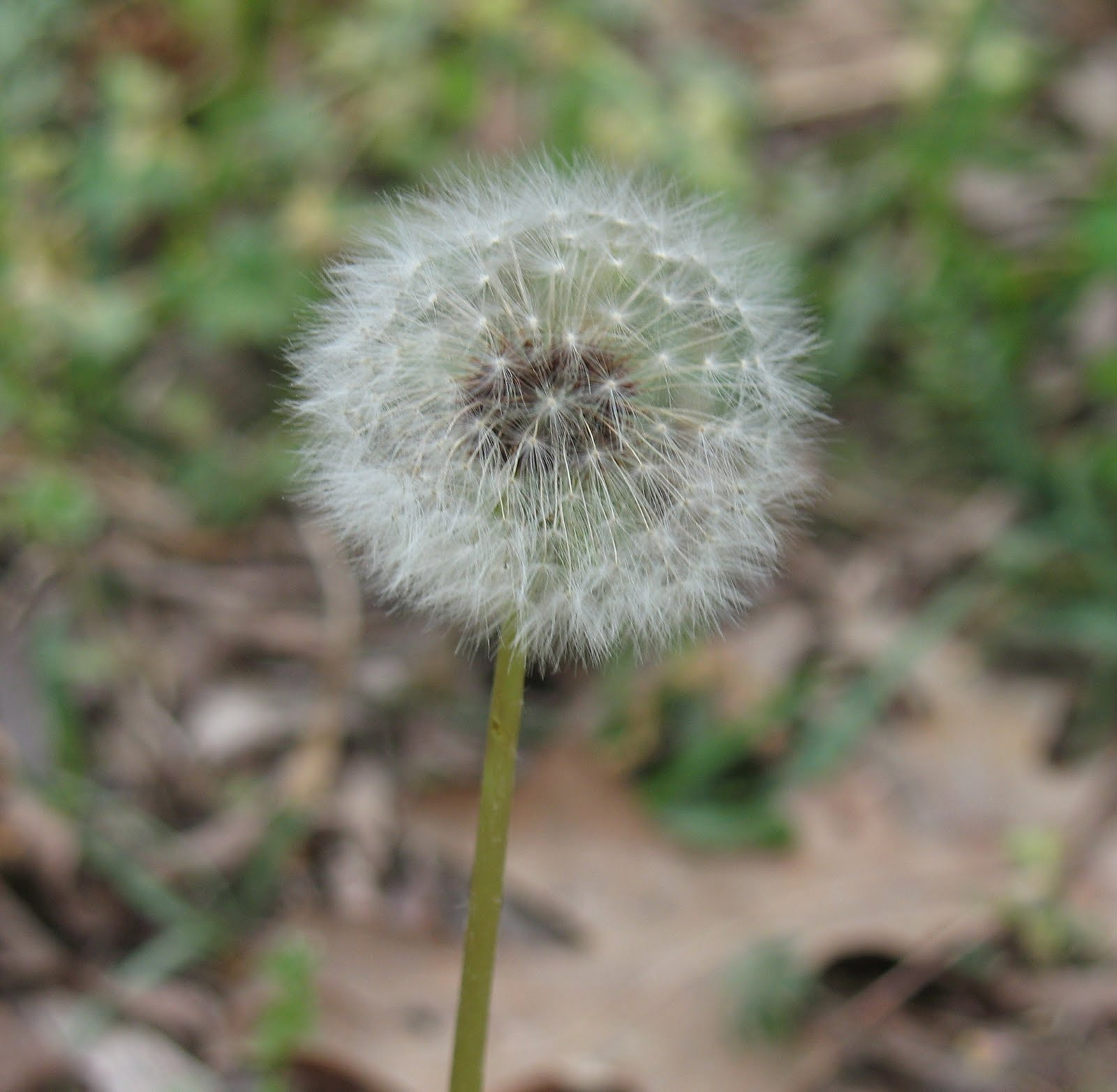 Edible wild plants dandelion greens sensible survival in older plants this flower turns into a white puff ball that kids love to pick and blow on so that the down flies away into the air mightylinksfo