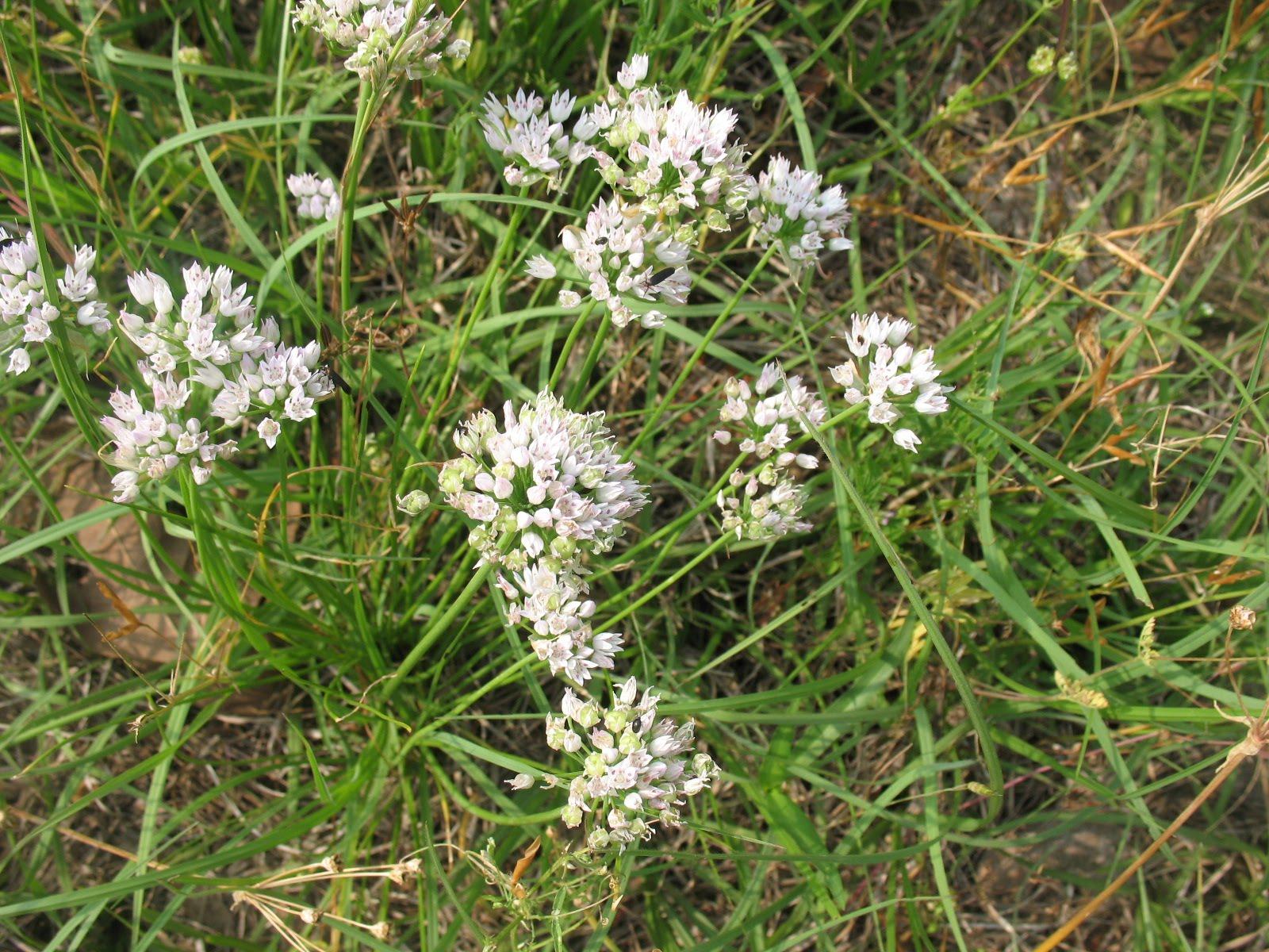 Edible Wild Plants – Wild ions