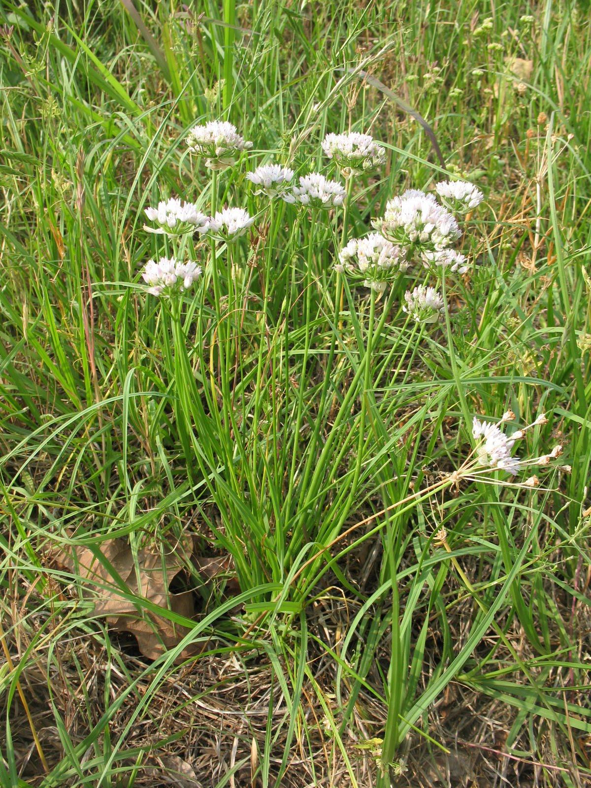 Edible Wild Plants Wild Onions Sensible Survival