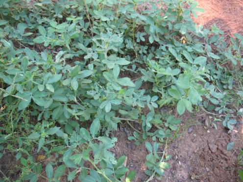 05 mature peanut plants