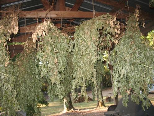 12 dried shooks