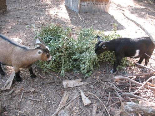 14 goats eating peanut vines