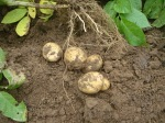 02 potatoes