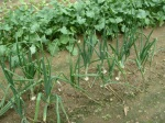 03 onions